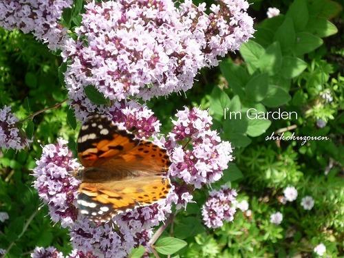 オレガノに蝶.jpg