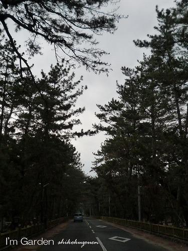 松林と道路.jpg